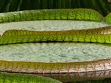 Botanischer Garten Erlangen Blätter der Seerose Viktoria Cruziana