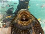 Scheibenputzerfisch