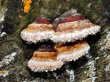 weinende Pilze