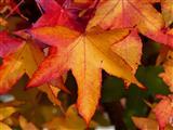 Amberbaum in Herbstfärbung