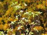 Blühender Apfelbaum Ende Oktober 2018