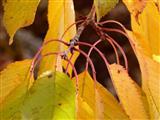 Kirschblattaufhängung