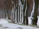 angeschneite alte Triesdorfer Linden