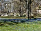 Ellingen Schlosspark Blausternchenblüte