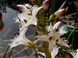 Fieberklee-Blüten