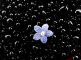 Regentropfen und Vergißmeinnichtblüte auf schwarzem Auto
