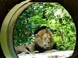 Löwe im Blick