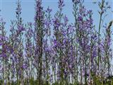 Glockenblumenwald