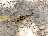 Junger Feuersalamander in Nordspanien