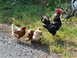 Hahn und Hennen