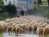 staubiger Feierabend für Schäfer-Schafe und Hund in Triesdorf