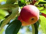Einer der wenigen 2019er Äpfel in Triesdorf