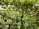 Kalebassenkürbisse auf der Insel Mainau