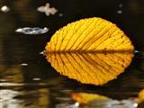 Schwimmblatt-Spiegelung