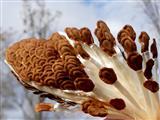 Samen der Seidenpflanze