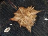 Supernova im Holz