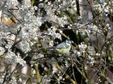Blaumeise im Blütenmeer
