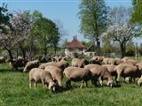 weidende Schafe an der Menagerie in Triesdorf