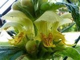 Goldnessel Blütenetage