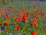 Blumenwiese in Weidenbach