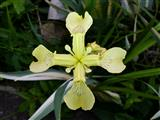 vierflügliche gelbe Teichschwertlilie