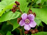 Blüte der Zimt-Himbeere