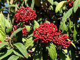 Runzelblatt-Schneeballfruchtstand