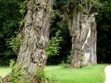 alte Robinien