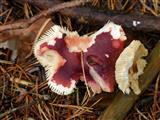 Pilzschmetterling
