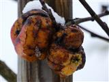 Apfelmumien