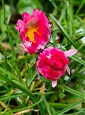 frierende Gänseblümchen