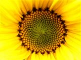 Blume der Sonne