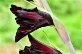 dunkle Gladiolenschönheit