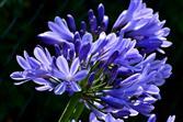 Schmucklilie blau