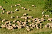 Schafe am Gelben Berg