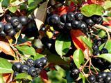 schwarze Apfelbeere