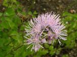 Fliegende Biene ohne Flügel