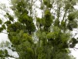 Mistelbaum
