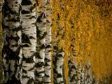 Birkenallee im Herbst