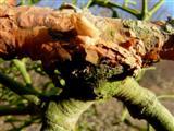 Mistel-Andockstelle