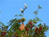 Vogelbeerbaam