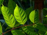 Bienenbaumblätter