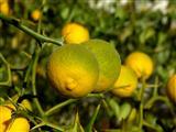 dreiblätterige Zitrone