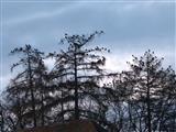 Krähen auf den Schlafbäumen