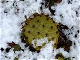 Winterharte Opuntie