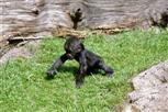Ubongo, * 06.01.2008, Sohn von Buzandi