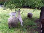 Kluge Ziegen brauchen manchmal geduldige Schafe.