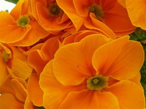 orange Primeln