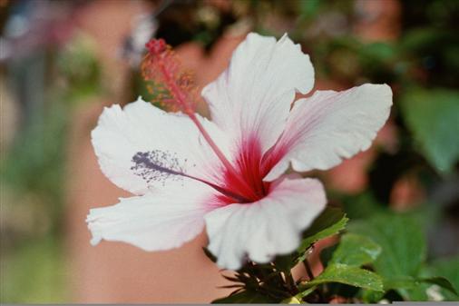 weiß-rote Hibiskusblüte