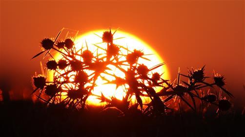 Feldmannstreu im Sonnenuntergang
